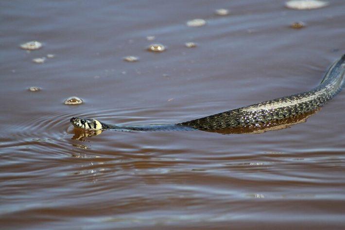 Проплывающая мимо змея