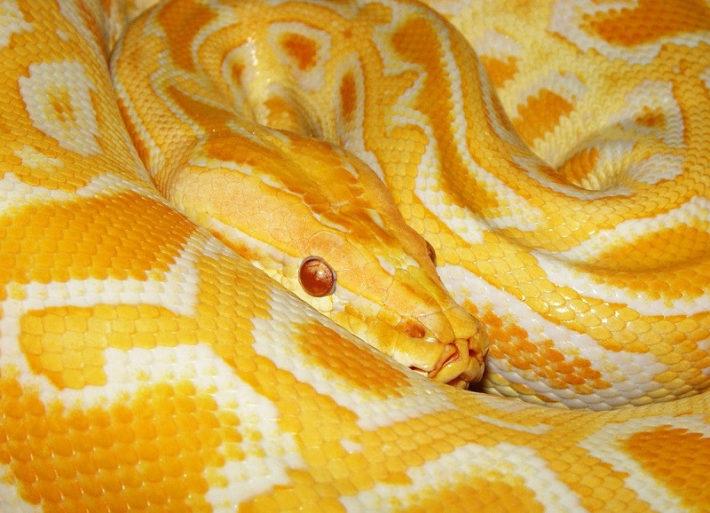 Желтая змея