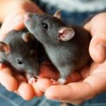 Серые крысы в руках