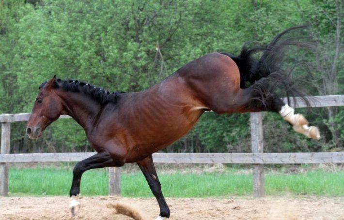 Брыкающаяся лошадь