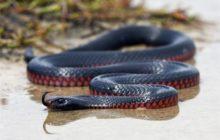 Черная с красным змея