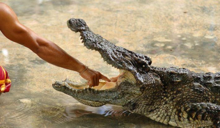 Рука человека в пасти крокодила