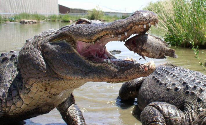 Крокодил ест рыбу
