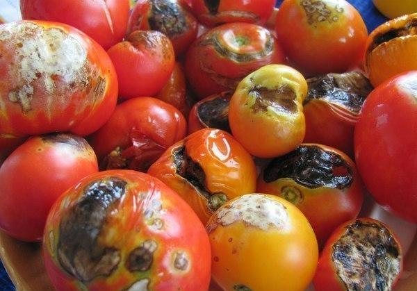 Гнилые помидоры
