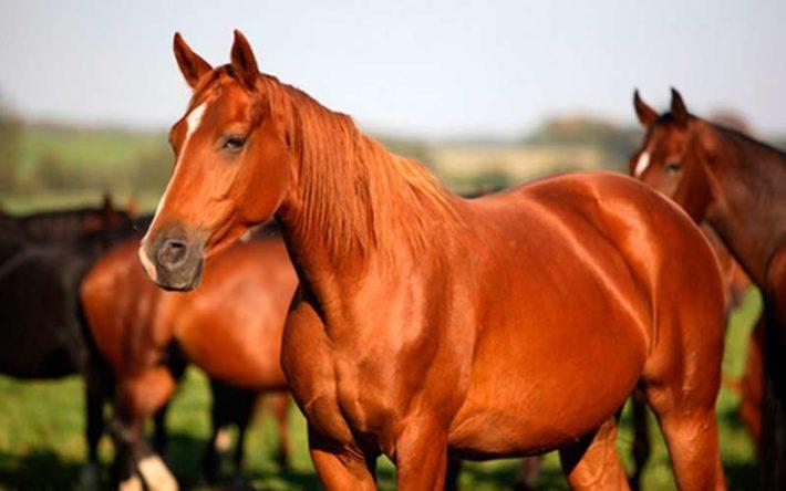 Рыжая лошадь