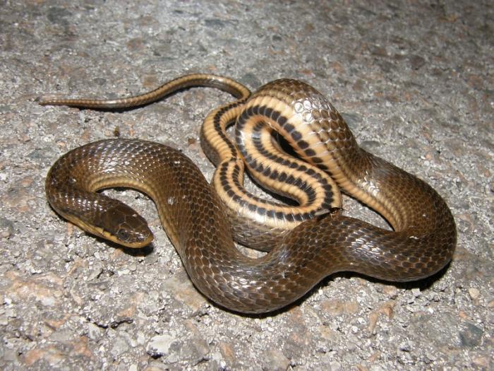 Коричневая змея