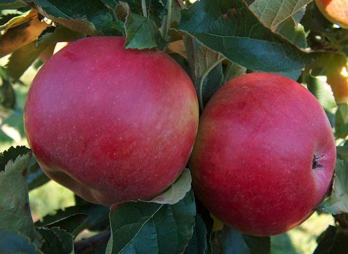 Два красных яблока на ветке