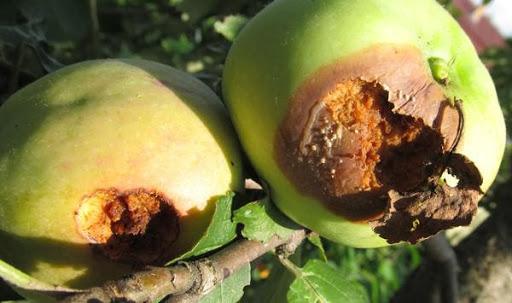 Два испорченных яблока на ветке