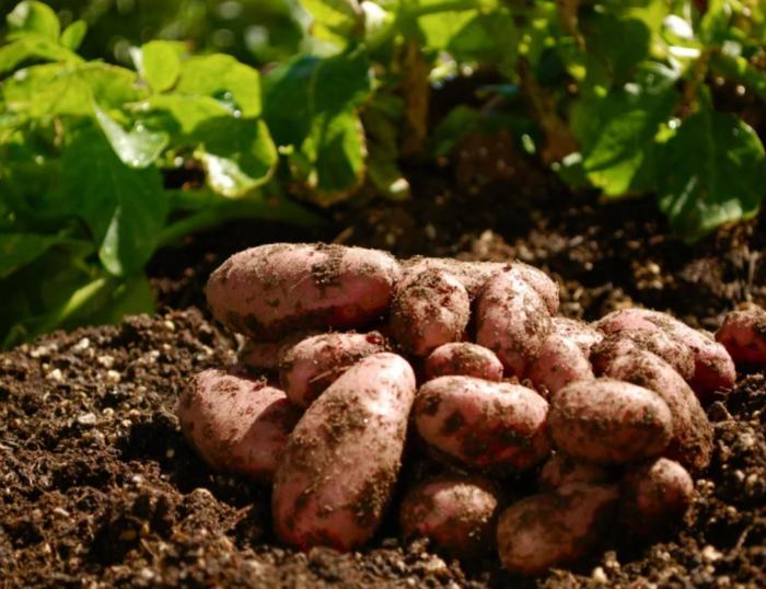 Грязный картофель на земле