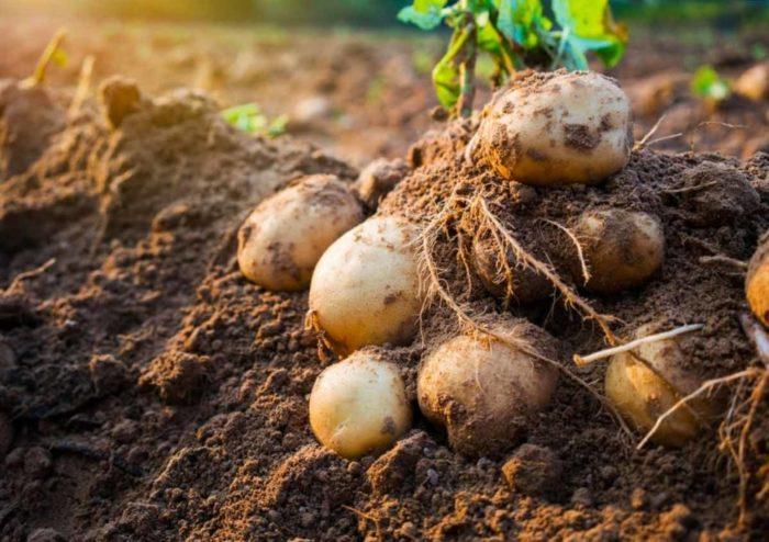 Картофель на кусте