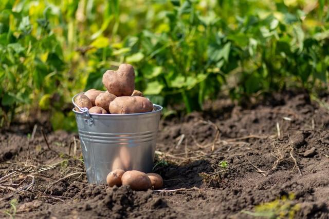 Ведро с картошкой
