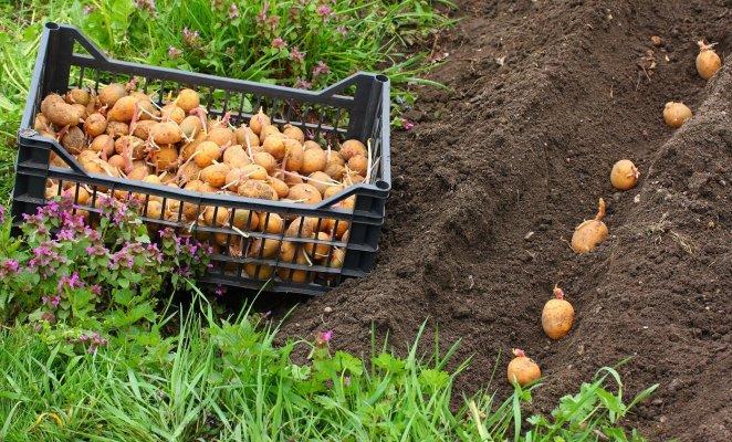 Посадка картофеля на грядке
