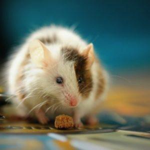 Крыса с сухариком