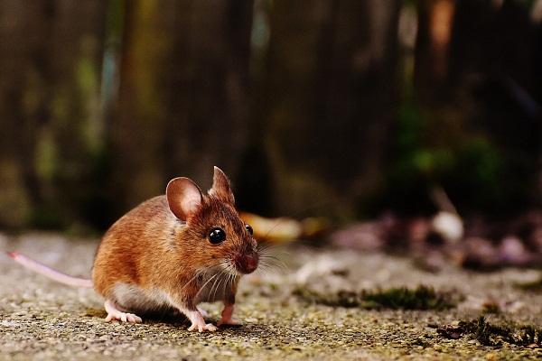 Земляная мышка