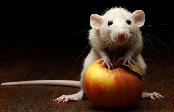 Белая крыса с яблоком