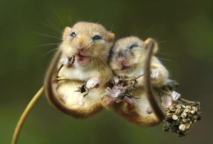 Две мыши на стебле