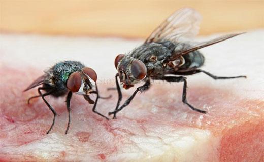 Две мухи на мясе