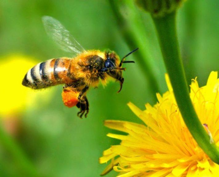 Пчела летит на одуванчик