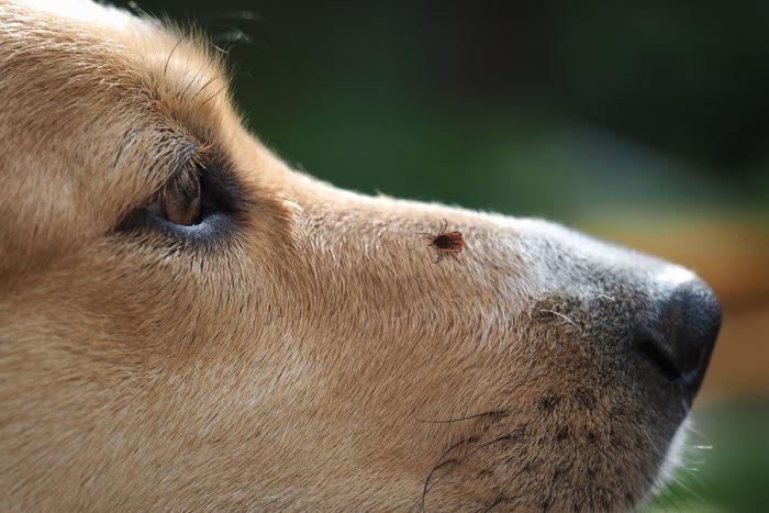 Клещ на морде у собаки