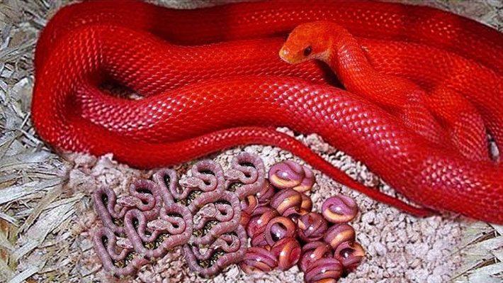 Красная змея с потомством