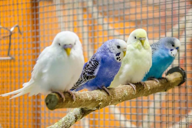 Разноцветные волнистые попугайчики на жердочке в клетке