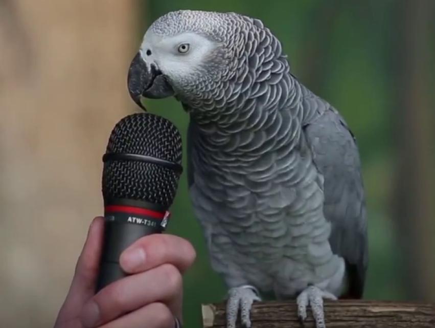 Рука держит микрофон перед большим серым попугаем