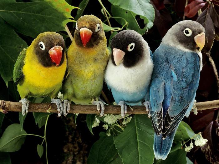 Разноцветные попугаи ветке